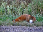 Foxy foraging